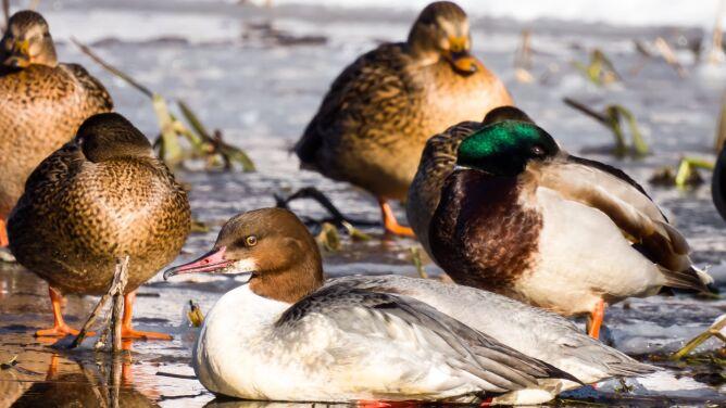 Kormorany i tracze nurogęsi zimują na rzece Prośnie