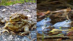 Samce żab zrobią wszystko dla partnerki