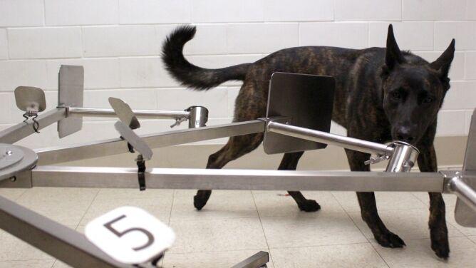 """Psy pomogą """"wywąchać"""" chorych na COVID-19? Rusza program szkoleniowy"""