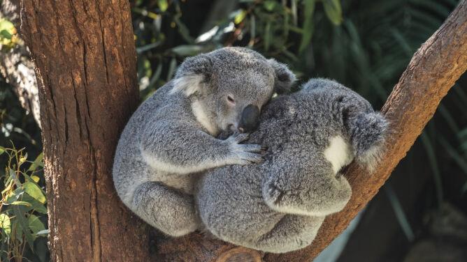 """Martwe koale po wyrębie drzew. <br />""""Australia powinna się wstydzić"""""""