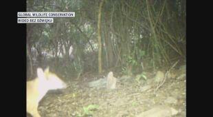 Ostatni raz myszo-jelenia widziano około 30 lat temu.