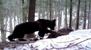 Niedźwiedź żerował na żubrze (Nadleśnictwo Lesko). Nagranie z 2013 roku